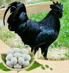 醴陵五黑贡鸡鸡蛋一个